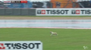 a dog on the track fp1 motogp austin